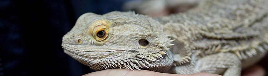slider-lizard
